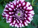dahlia-decoratif-13-KAVB-concours-international-dahlia-2013-parc-floral.jpg
