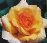 Rose pacorabanne.jpg