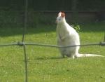 Wallaby albinos.png